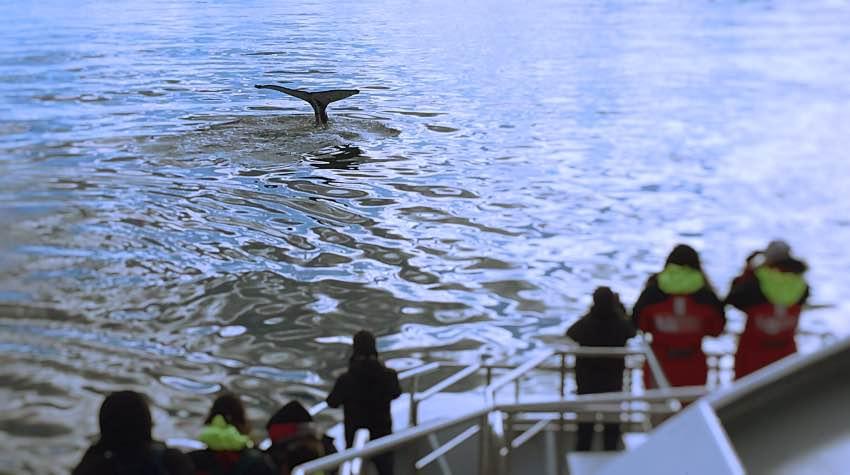 balene, barca, whalewatching, Islanda